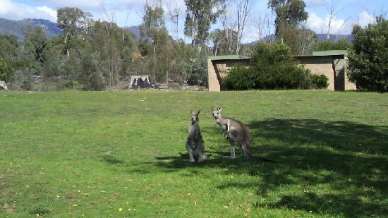 Canberra, Australien: 自然のカンガルー