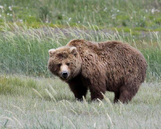 AK Adventures, Inc. - Day Tours: One of our first bear sightings-- thrilling!
