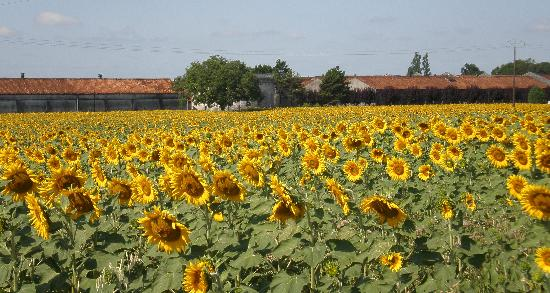Jarnac, Frankrig: Sunflowers outside the hotel
