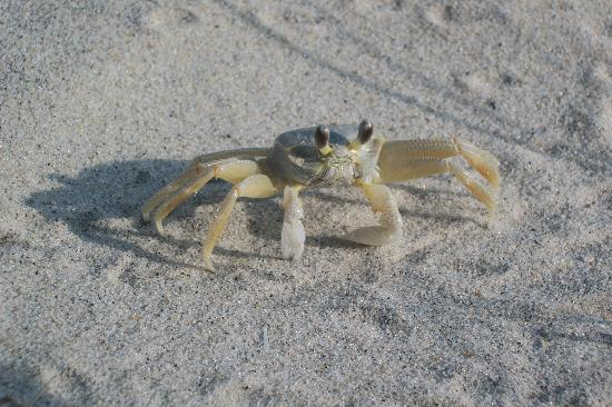 Berlin, MD: This ghost crab was found camped out under our tent when we packed to leave- they're even cooler