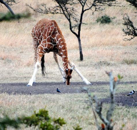 Porini Mara Camp: Giraffe at the watering hole