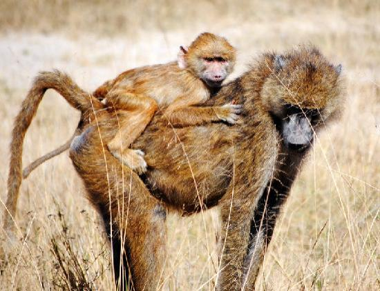 Porini Mara Camp: baboon and baby