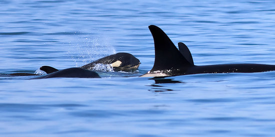 Eagle Wing Whale Watching Tours: Baby orca!