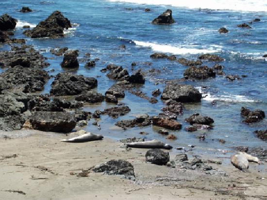 Cambria, CA: Elephant Seal Reserve