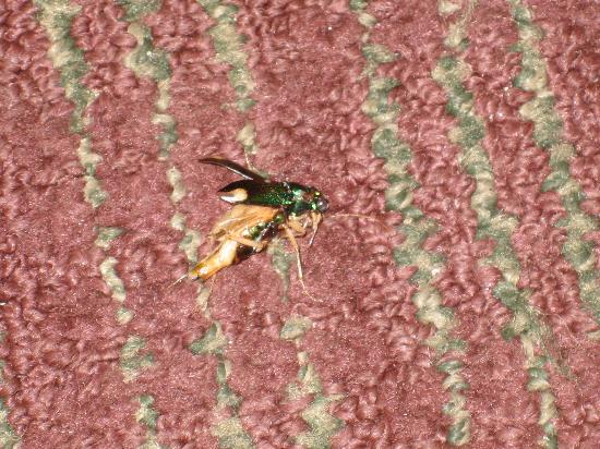 BEST WESTERN Kimball Inn: here is the bug after I squashed it...