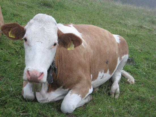 Bad Kohlgrub, Alemania: An Alpine Cow with her Klang