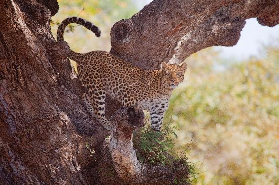 Kafunta River Lodge: Leopard in a Tree!
