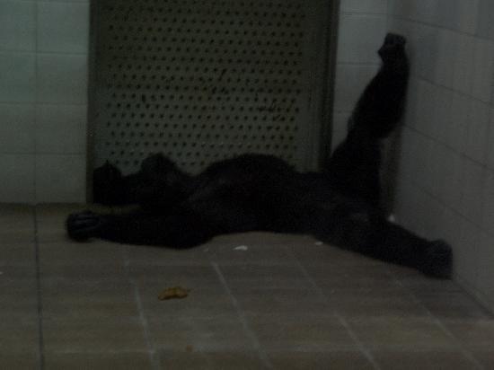 Ehime Tobe Zoo: 夜の動物園のゴリラ