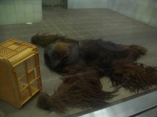 Ehime Tobe Zoo: オヤジ化したオラウータン