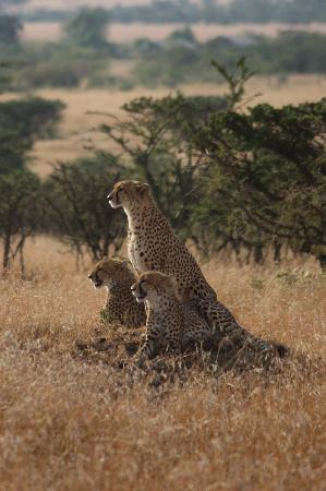 Porini Lion Camp: A mother cheetah and her two year old cubs!