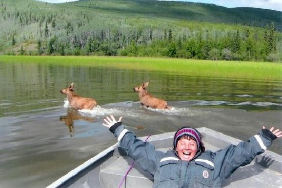 Fairbanks, Αλάσκα: Moose in the water