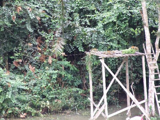 Yarina Eco Lodge: Squirrel monkeys come to dine