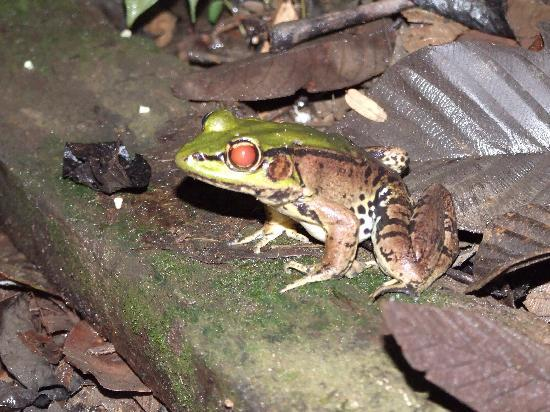 Yarina Eco Lodge: Amazon bull frog