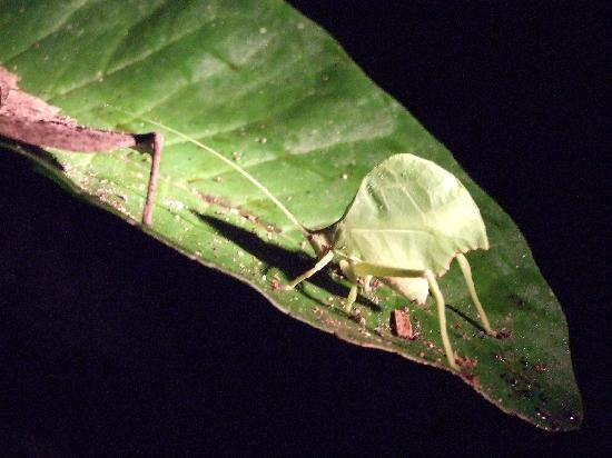 Yarina Eco Lodge: Leaf-mimicking katydid on night-time safari