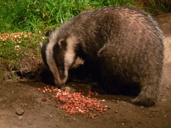 Speyside Wildlife : Badger visit the Speyside hide