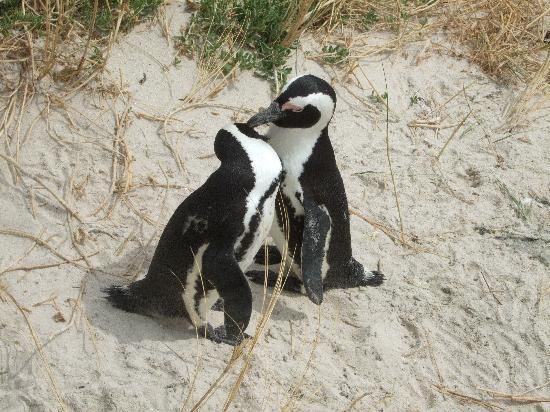 Boulders Beach: Pinguinpärchen