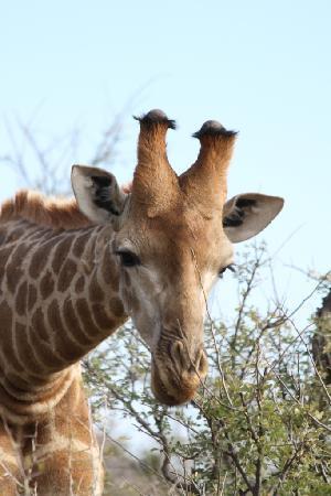 Impodimo Game Lodge: Giraffe