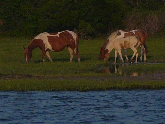 Spider's Explorer: Wild ponies on Assateague Island.