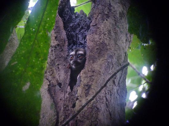 Canopy Tower: A Western Night Monkey!  One of my favorite creatures in Panama!