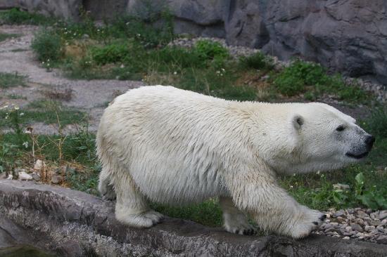 Zoom Erlebniswelt: Der kleinwüchsige Eisbär