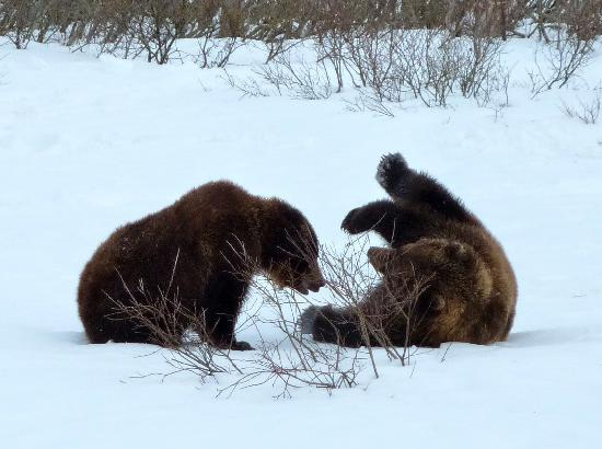 Off Our Rockies Bed and Breakfast: Bears playing