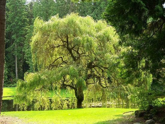 weeping willow tree  picture of kitsap tours, bainbridge island, Natural flower
