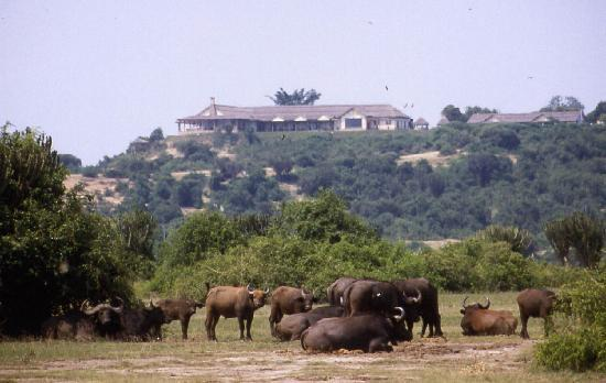 Buffalos in front of Mweya Safari Lodge