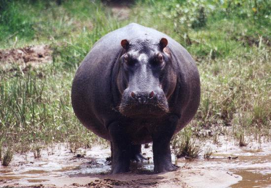 Mweya Safari Lodge: Pregnat hippopotamus