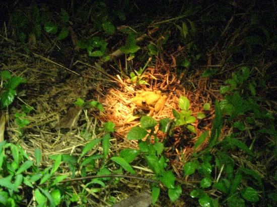Drake Bay, Kostaryka: Gladiator tree frog