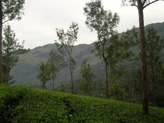 Μουνάρ, Ινδία: marigold munnar