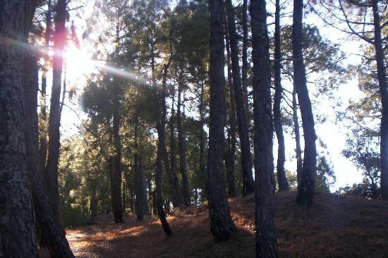 Himalayan Village Sonapani: The adjoining pine forest