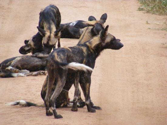 F. King Tours and Safaris - Day Tours: Pack of Wild Dogs (really scary)