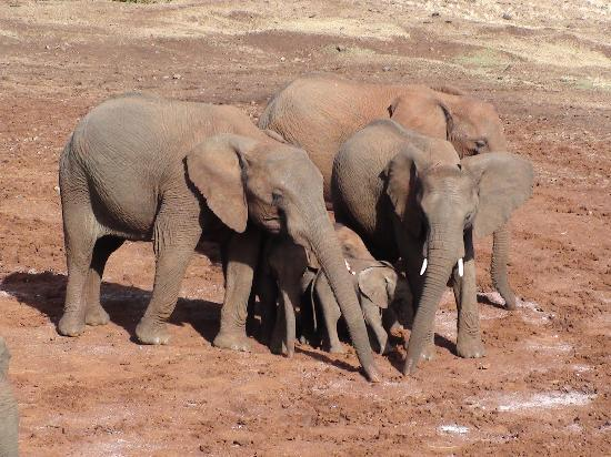 The Ark: Several elephant families