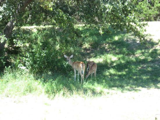Holiday Lodge on Canyon Lake: Lots of deer to feed