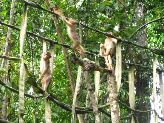 Barefoot Sukau Lodge: monkeys up close on our first cruise!