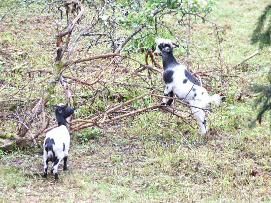 Greystones B&B : Pygmy goats over the garden fence