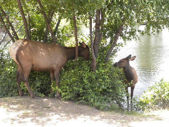 Spruce Lake RV Park: Elk in the Park