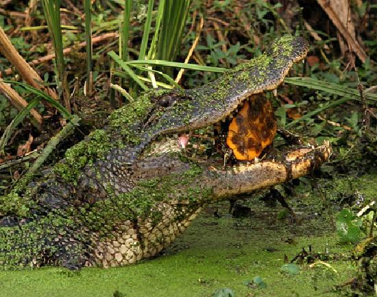 Beaumont, TX: See live alligators at Gator Country Adventure Park and meet the stars of Gator 911.