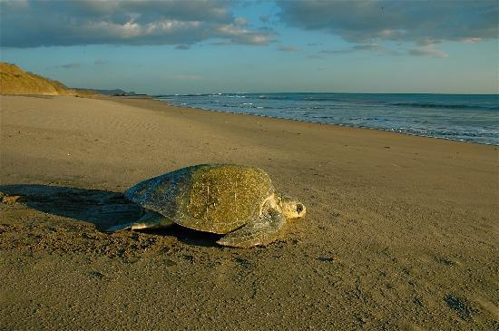 Two Brothers Surf Resort: Turtles nesting on the beach...