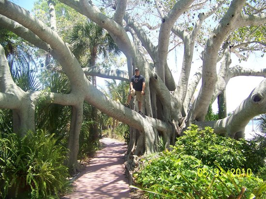 Bokeelia, Floride : Huge Banyan tree