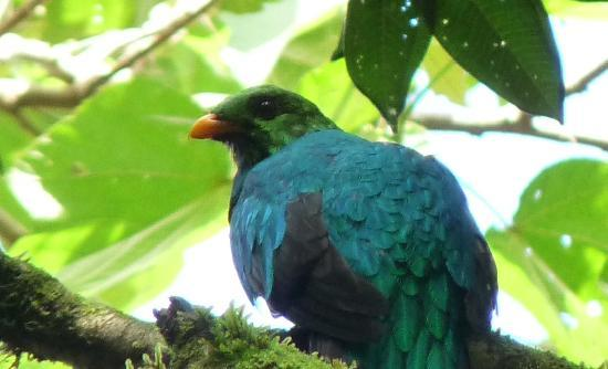Mindo, Ecuador: Golden-headed Quetzal