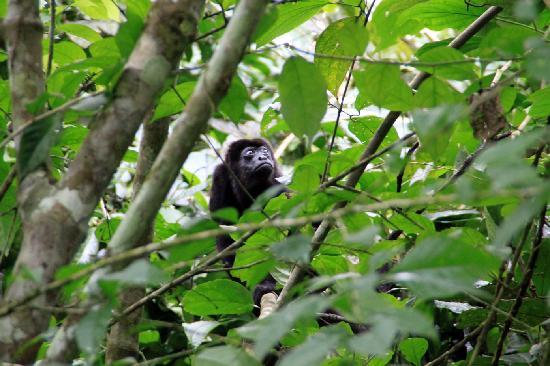 Gamboa Rainforest Resort: howler monkey