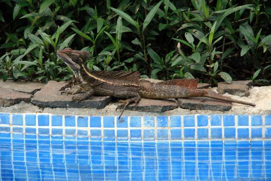 Gamboa Rainforest Resort: lizard