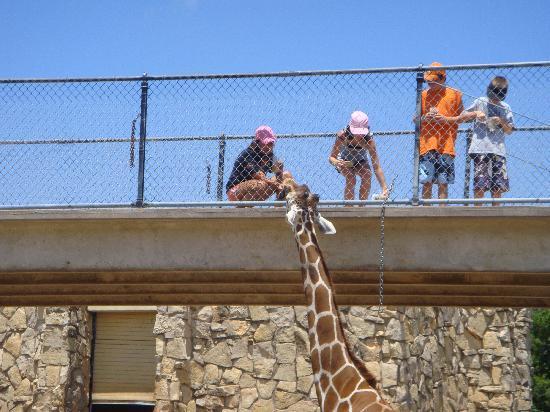 Abilene Zoo: feeding the giraffes on the bridge