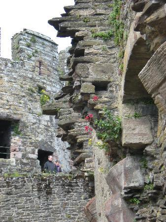 Conwy Castle: Wildflowers growing from castle walls