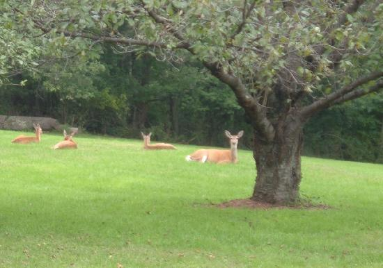 The Dominion House: The deer are frequent visitors.