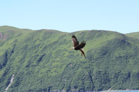 Kodiak Island, AK: Eagle near Pesagshak