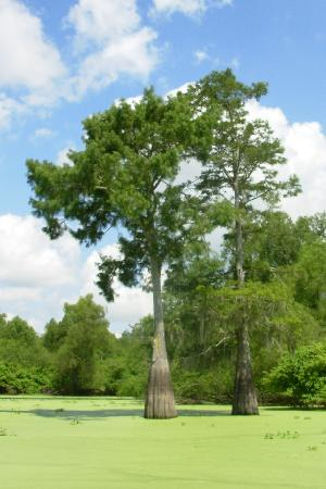 The Atchafalaya Experience: cypress trees