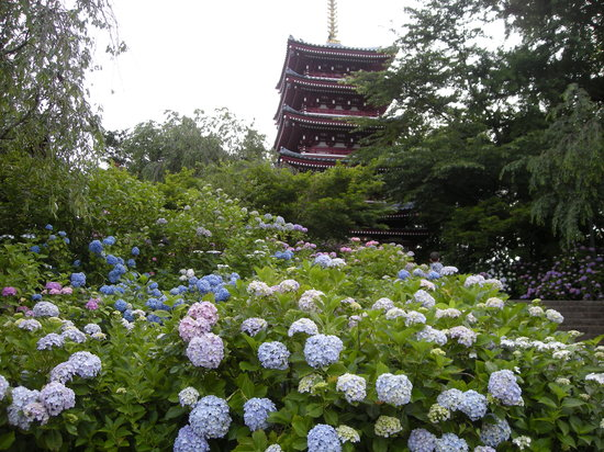 Hondo-ji Temple: あじさい