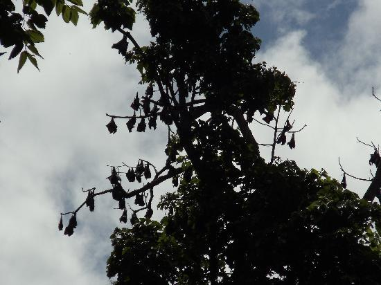 Mambukal Hot Spring Resort: Bats hanging in the trees